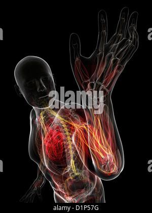 Anatomie des Armes, Computer Bild Stockfoto, Bild: 102518412 - Alamy