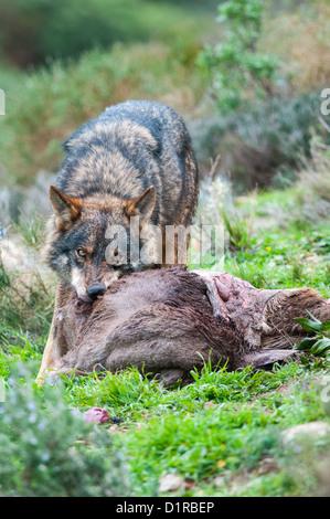 Iberischer Wolf Essen ein Reh - Stockfoto