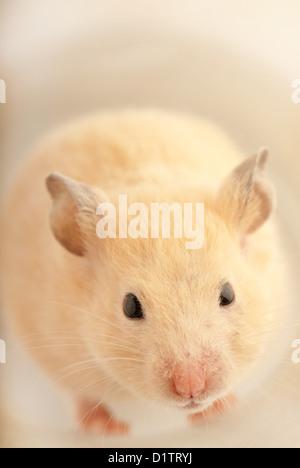 Weiße inländische Maus roaming in einem studio - Stockfoto