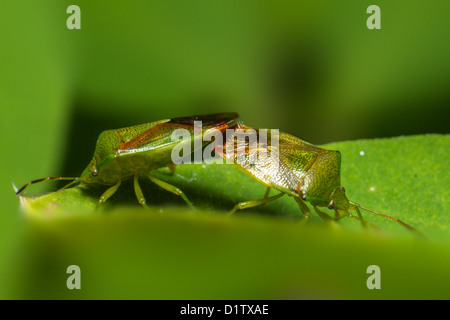 Frühling (Dolycoris Baccarum) - Stockfoto