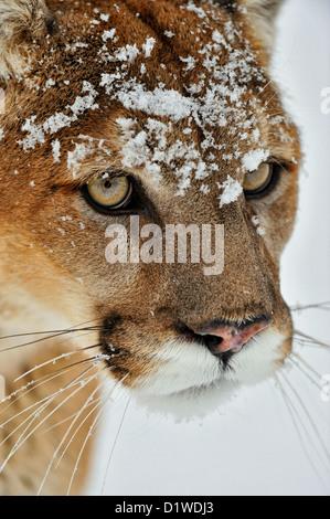 Cougar, Puma, Mountain Lion (Puma concolor), Captive angehoben Muster, Bozeman, Montana, USA - Stockfoto