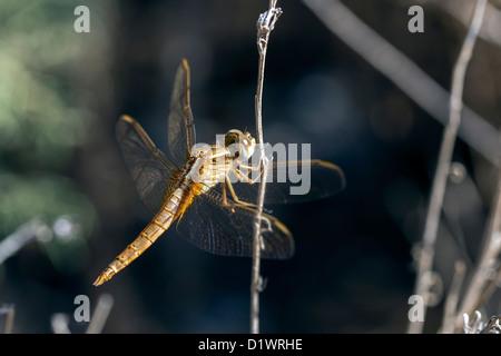 Libelle im Ruhezustand - Stockfoto
