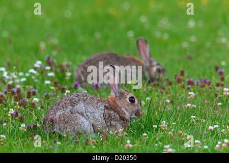 Zwei europäische Kaninchen / gemeinsame Kaninchen (Oryctolagus Cuniculus) Weiden im Feld mit Wildblumen - Stockfoto