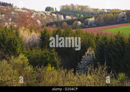 Kirschblüte in idyllischer Landschaft in Tholey, Saarland, Deutschland, Europa - Stockfoto