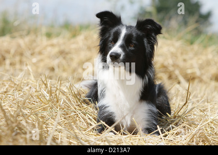 Hund Border Collie Erwachsenen schwarz und weiß liegen im Stroh - Stockfoto