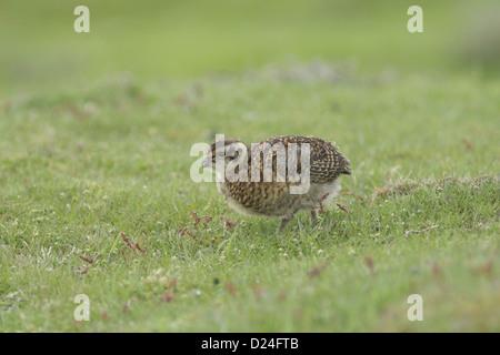 Moorschneehuhn Lagopus Lagopus Scoticus Küken aufrufenden stehen auf kurzen Rasen Moorland Rand Nidderdale North - Stockfoto