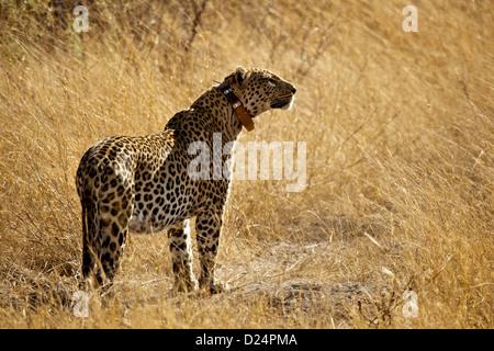 Afrikanischen Leoparden Panthera Pardus Pardus Erwachsenen tragen Radio tracking-Kragen stehen in Trockenrasen Botswana - Stockfoto
