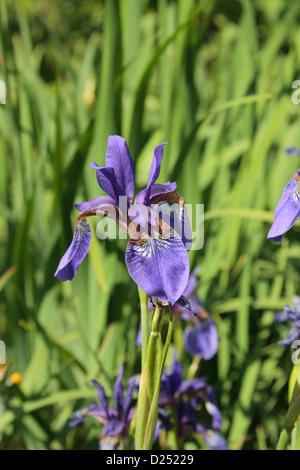 Eine schöne Iris Ensata (Iridaceae) in die Royal Botanic Gardens, Kew, Surrey, England. - Stockfoto