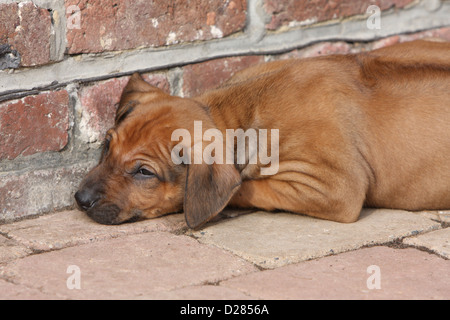 rhodesian ridgeback welpen schlafen stockfoto bild 71438689 alamy. Black Bedroom Furniture Sets. Home Design Ideas