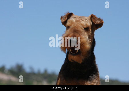 Airedale Terrier Hund / Waterside Terrier adult Porträt - Stockfoto
