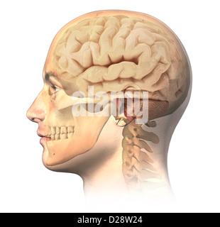 Menschlichen Männerkopf mit Schädel und Gehirn in Ghost-Effekt, Seitenansicht. Anatomie-Image, auf weißem Hintergrund - Stockfoto