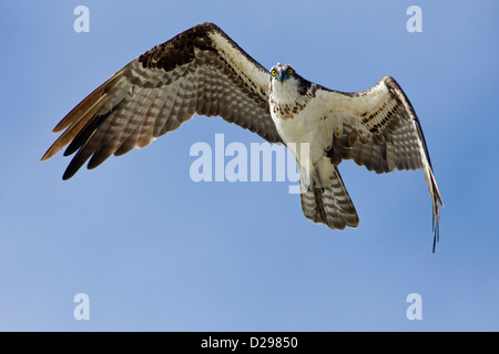 Fischadler im Flug - Stockfoto