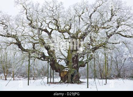 die große Eiche in den frischen Schnee Sherwood Forest Land Park edwinstowe - Stockfoto