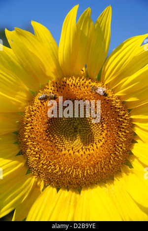 Amherst, Massachusetts. Close-up Sunnflower Pflanze mit Honigbiene, Bestäubung - Stockfoto