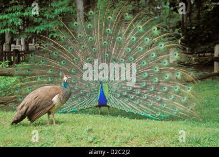 Tennessee. Norris. Museum der Appalachen. Peacock Gefieder und Pfauenhennen (Aka Pfauen) anzeigen - Stockfoto