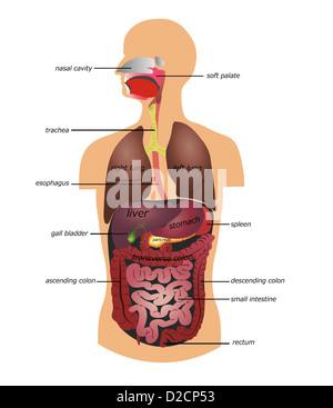 Magen-Darm-Trakt, menschliche Verdauungssystem, detaillierte medizinische illustration - Stockfoto