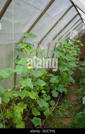 im Gewächshaus wachsen Gurken - Stockfoto
