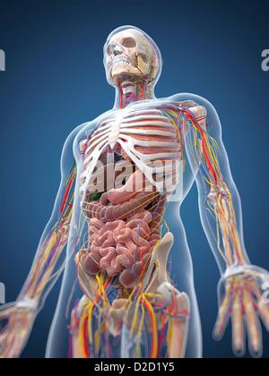 Computer Abbildung der Anatomie des menschlichen Verdauungssystem ...