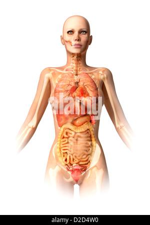 Anatomie Lunge Stockfoto, Bild: 18203641 - Alamy