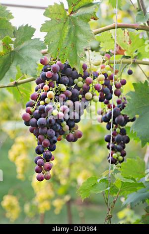 Die Trauben reifen roten Trauben hängen von einer Rebe - Stockfoto