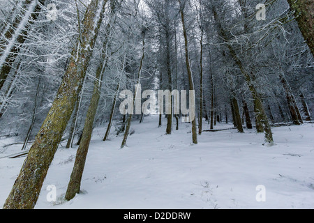 Bare schneebedeckte Bäume in einem verschneiten Wald - Stockfoto