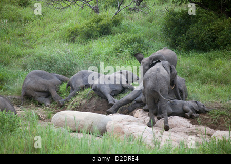 Baby-Elefanten Herde napping ruhenden Schlaf müde müde Kindergarten erschöpft nach dem Spiel am Ufer - Stockfoto