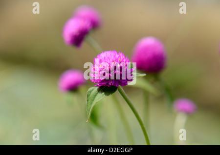 schöne Welt Amaranth Blume (Gomphrena Globosa Linn.) im Thai Flower garden - Stockfoto