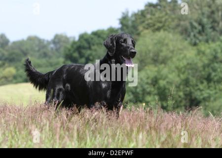 Hund Flat Coated Retriever Erwachsener (schwarz) stehen auf einer Wiese - Stockfoto
