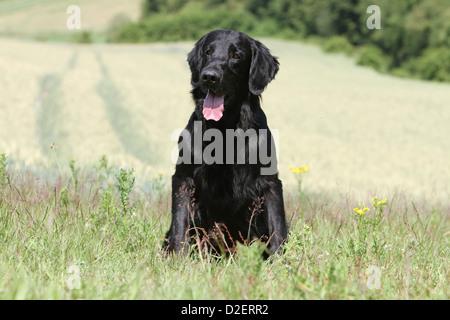 Hund Flat Coated Retriever Erwachsener (schwarz) auf einer Wiese sitzen - Stockfoto