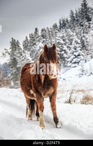 Ein wild Mountain Pony in einem Schnee und Baum bedeckt Landschaft im ländlichen Raum - Stockfoto