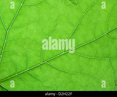 Ein Makro Nahaufnahme eines Blattes mit Criss cross Venenmuster. - Stockfoto