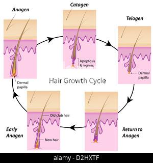 Haar-Wachstums-Zyklus - Stockfoto