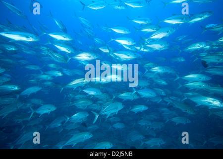 Eine große Schule Makrelenschwarm in offene, blaue Wasser bei Cabo Pulmo National Marine Park, Mexiko. - Stockfoto