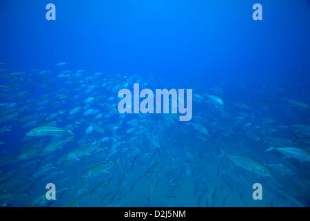 Eine große Schule Buben im klaren blauen Wasser am Cabo Pulmo National Marine Park, Mexiko. - Stockfoto