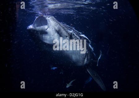 Ein 10 Meter Walhai (Rhincodon Typus) Filter Fütterung Plankton in der Nacht, Thaa Atoll, Malediven. - Stockfoto