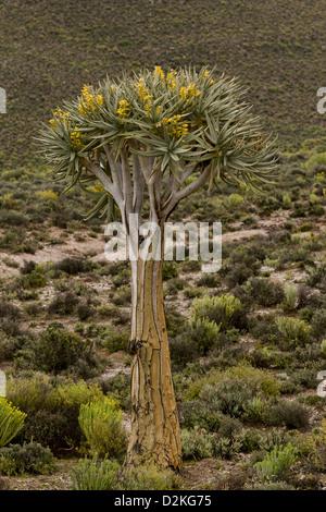 Köcher (Aloe Dichotoma) Baum in Blüte, Namaqualand, Südafrika - Stockfoto