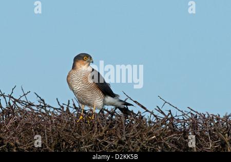 Weibliche Sperber Accipiter Nisus, landet auf Hecke. UK - Stockfoto