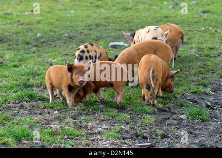 Gruppe der Kune Kune und Wildschweine kreuzen Ferkel Beweidung in Feld in Schottland - Stockfoto