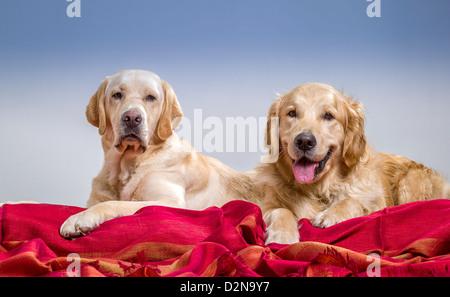 Porträt eines Golden Retriever und gelbe Labrador Retriever liegend. Junge Hunde in der Ausbildung. - Stockfoto