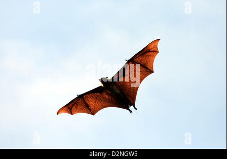 Flughund (Flying Fox) in Tissamaharama, Sri Lanka. - Stockfoto