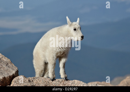 Bergziege (Oreamnos Americanus) Kind, Mount Evans, Arapaho-Roosevelt National Forest, Colorado, USA - Stockfoto