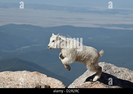 Bergziege (Oreamnos Americanus) Kind springen, Mount Evans, Arapaho-Roosevelt National Forest, Colorado, USA - Stockfoto