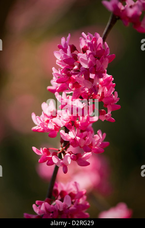 Cercis Canadensis, Forest Pansy, rosa. - Stockfoto