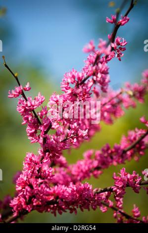 Cercis Canadensis, Forest Pansy, reichlich kleine rosa Blumen auf einem Ast. - Stockfoto