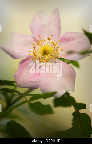 """Rosa """"Mary Queen Of Scots"""", Rose, Pink. - Stockfoto"""