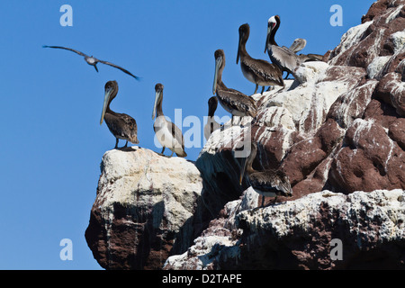 Braune Pelikane (Pelecanus Occidentalis), Golf von Kalifornien (Sea of Cortez), Baja California, Mexiko, Nordamerika - Stockfoto