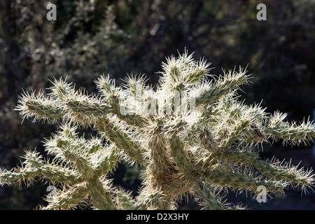 Staghorn Cholla Cactus in Saguaro N.P, Arizona, USA - Stockfoto