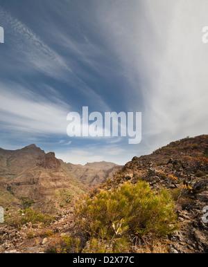 Weiß-blühenden Ginster (Retama Blanca) wächst auf einem hohen Felsen über der Stadt Masca, Teno-Massivs, Teneriffa - Stockfoto