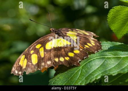 Der Kalk-Schwalbenschwanz-Schmetterling (Papilio Demoleus) - Stockfoto
