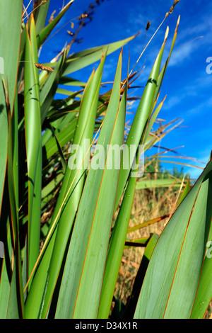 Green New Zealand Flax Busch detail
